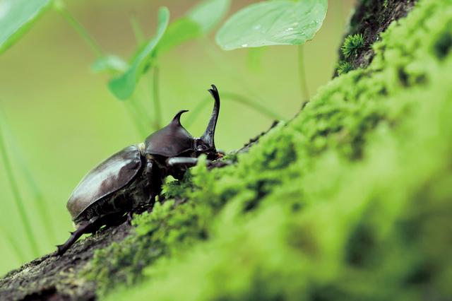 【カブトムシ飼育】方法・手順・使い方、メリットデメリットなどについて