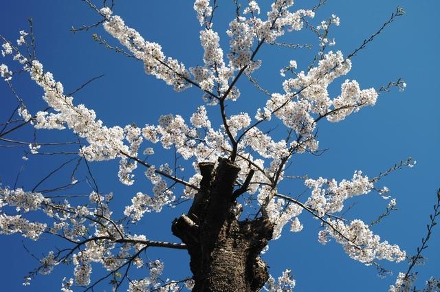 桜剪定の方法・やり方・手順や使い方
