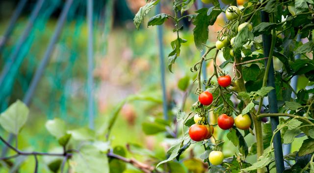 ミニトマトの肥料の方法・やり方・手順や使い方
