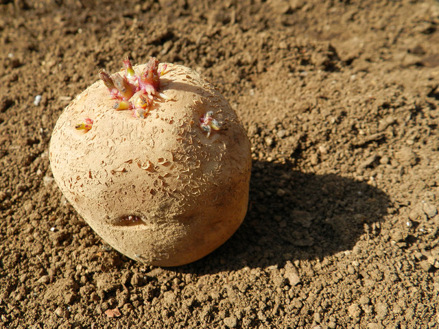 ジャガイモ植え付けの方法・やり方・手順や使い方