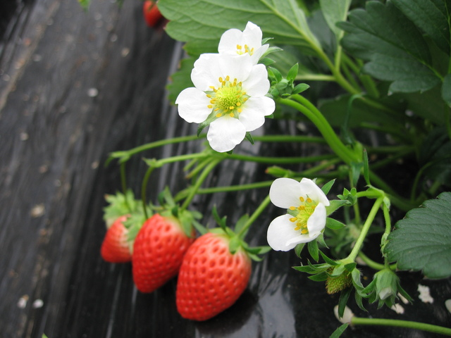 いちごの肥料の方法・やり方・手順や使い方