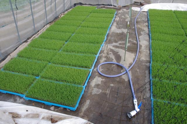 水稲の育苗の方法・やり方・手順や使い方