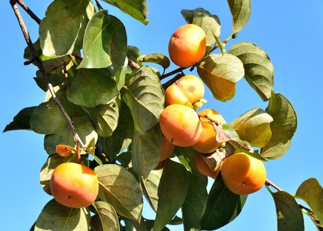 柿の剪定時期とその方法・やり方・手順や使い方