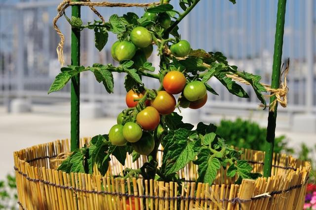 トマト接ぎ木の方法・やり方・手順や使い方