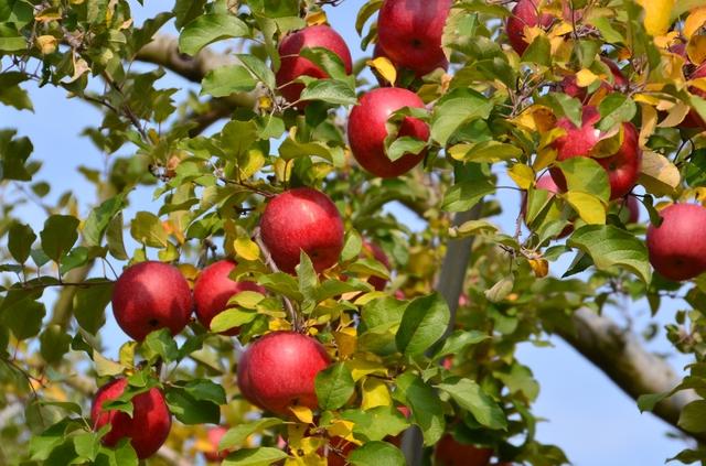 リンゴ剪定の方法・やり方・手順や使い方