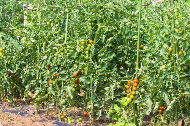 トマト剪定の方法・やり方・手順や使い方・流れなどについて