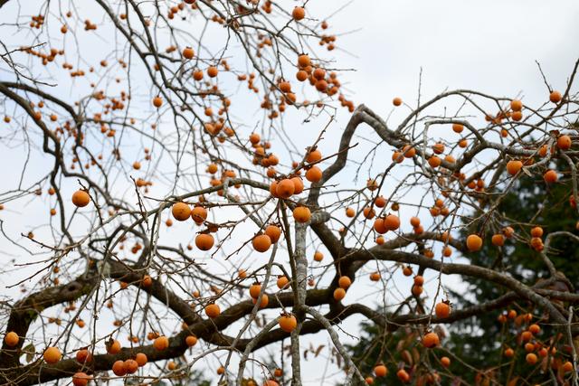 柿木接ぎ木の方法・やり方・手順や使い方・流れ